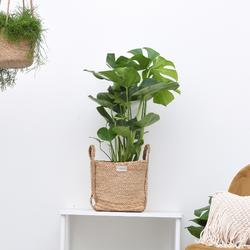 Green Bubble Monstera deliciosa (Gatenplant) - 80cm