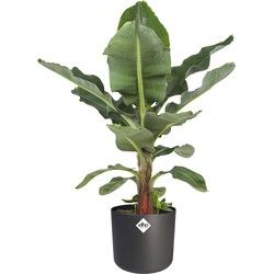 Musa in ® ELHO b.for soft sierpot (Musa Dwarf Cavendish - 24x75 cm)