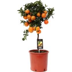 Citrus Mandarin - 85cm