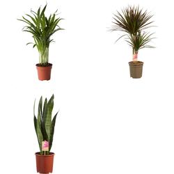 Combi deal - Studenten pakket (3x Easy-care plant)