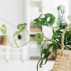 Green Bubble Hangplant Monstera Monkey Leaf - 30cm