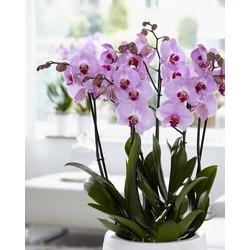 Orchidee Sacramento