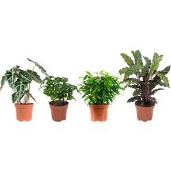 Ficus, Koffieplant, Olifantsoor en Calathea