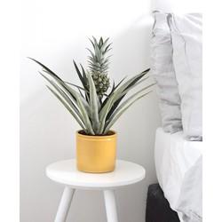 Ananasplant in bijpassende pot