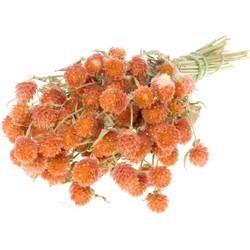 Bries aan Zee Gedroogde Gomphrena Globosa in Fuchsia, Roze en Paars - Oranje